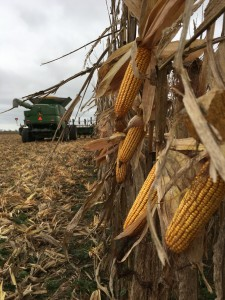 Up close and personnel with A bountiful a corn harvest!